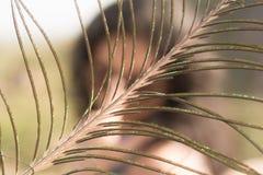 孔雀羽毛和一个女孩在背景中 免版税库存照片