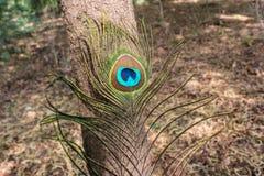 孔雀羽毛森林在背景中 库存照片