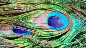 孔雀羽毛 埃拉特 以色列 库存图片