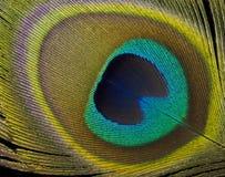 孔雀羽毛细节 库存图片