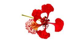 孔雀花, Delonix regia,隔绝在白色背景 库存图片
