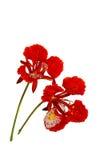 孔雀花, Delonix regia,隔绝在白色背景 图库摄影