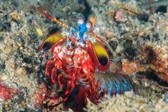 孔雀虾蛄 库存图片