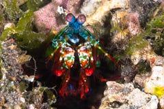 孔雀虾蛄(Odontodactylus scyllarus) 免版税图库摄影