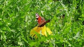 孔雀铗蝶从蒲公英花收集花蜜 振翼的翼和象鼻的迅速运动 o 来了 股票录像