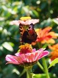 孔雀铗蝶在庭院里 免版税库存照片