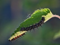 孔雀铗蝶的毛虫的特写镜头 图库摄影