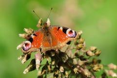 孔雀铗蝶Inachis io坐一朵干燥花 免版税库存照片