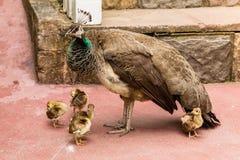 孔雀鸟小鸡 图库摄影