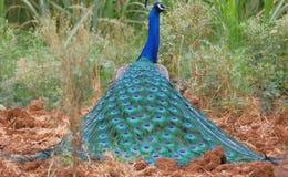 孔雀,印度的全国鸟 库存照片