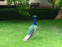 孔雀,孔雀在国王庭院里 免版税库存图片