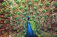 孔雀-与充分的全身羽毛显示的孔雀特写镜头 免版税库存图片