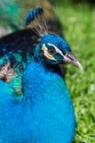 孔雀-与开放尾巴,公孔雀美好的代表性模范的孔雀在巨大金属颜色的 库存照片