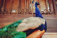 孔雀-在一个老窗口前面的孔雀特写镜头 库存照片