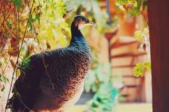 孔雀-在繁茂花园中的孔雀特写镜头 免版税库存照片
