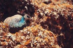 孔雀-孔雀围拢与植被 免版税库存图片