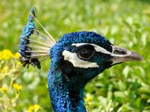 孔雀` s头和冠羽毛侧视图  免版税库存图片