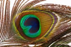 孔雀` s羽毛的细节 免版税图库摄影