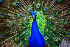 孔雀Currumbin野生生物保护区 库存图片