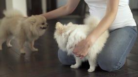 孕妇坐地板 她的手抚摸坐在她的膝部之间的一只pomeranian波美丝毛狗 股票录像