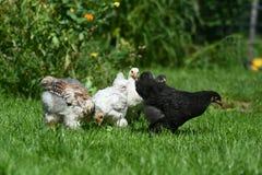 字符快乐的鸡复活节系列问候愉快的例证明信片象征 库存照片
