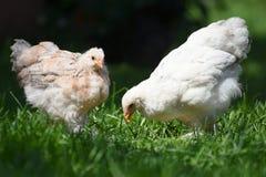 字符快乐的鸡复活节系列问候愉快的例证明信片象征 免版税库存照片