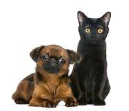 坐在小的Brabancon旁边的孟买猫 免版税库存照片