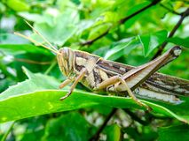 孟买蝗虫在叶子 库存图片