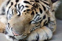 孟加拉休眠老虎 免版税库存图片