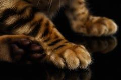 孟加拉全部赌注的特写镜头爪子在黑色的 库存图片