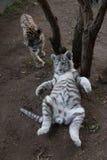 孟加拉和白色虎犊在动物园 免版税库存图片