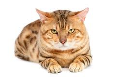 孟加拉品种猫 免版税库存照片