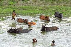 孟加拉国的孩子和动物在湖共同沐浴 库存照片
