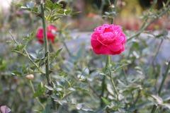 孟加拉国的美丽的桃红色罗斯花在庭院里 库存照片