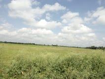 孟加拉国的美好的稻田 免版税库存图片