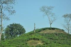 孟加拉国的茶园看法  免版税库存照片