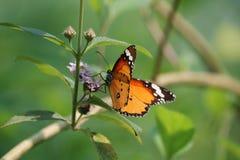 孟加拉国蝴蝶 免版税图库摄影