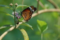孟加拉国蝴蝶 免版税库存照片