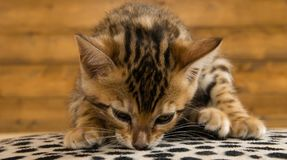 孟加拉小猫嗅到表面,在木背景 库存图片