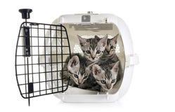 孟加拉小猫在狗窝 免版税库存照片