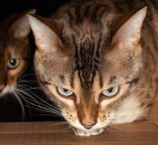 凝视通过纸板箱的孟加拉猫 免版税库存图片