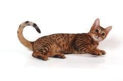 孟加拉小猫 免版税图库摄影
