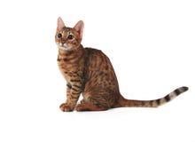 孟加拉小猫 免版税库存照片