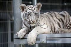 孟加拉崽皇家老虎白色 免版税库存图片