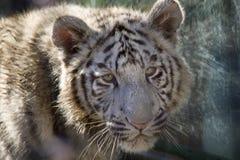 孟加拉崽表面皇家射击老虎白色 免版税图库摄影