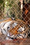孟加拉懒惰老虎 免版税库存图片