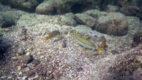 孟加拉攫夺者Lutjanus bengalensis和黄鳍金枪鱼绯鲵鲣Mulloidichthys vanicolensis在Los Isoletes海岛科尔特斯海 股票录像
