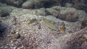 孟加拉攫夺者Lutjanus bengalensis和黄鳍金枪鱼绯鲵鲣Mulloidichthys vanicolensis在Los Isoletes海岛科尔特斯海 影视素材