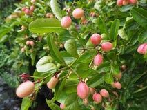 孟加拉无核小葡萄干树或Carandas李子 库存图片