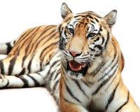 孟加拉查出老虎白色 图库摄影